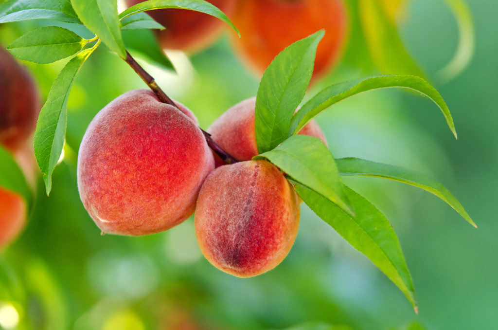 Delicious peaches hanging on a tree branch