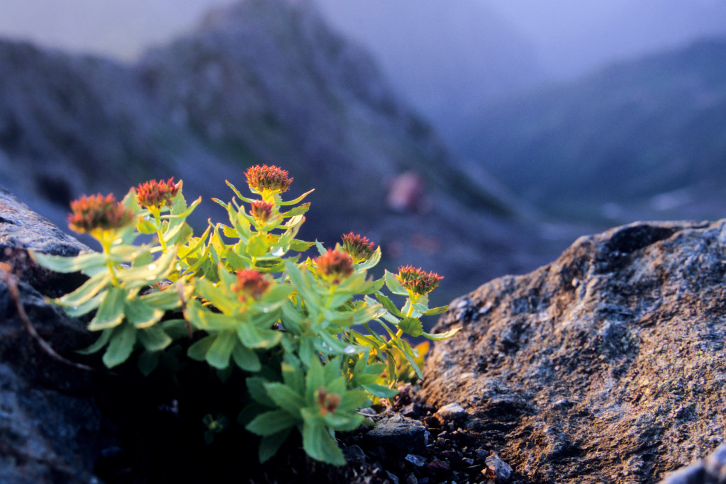 Dawn of Rhodiola rosea